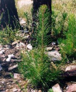 pino pinaster